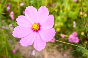 Pink Cosmos Flower Close Up by criminalatt courtesy of www.FreeDigitalPhotos.net