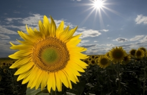 Sunflower by patrisyu courtesy of www.freedigitalphotos.net